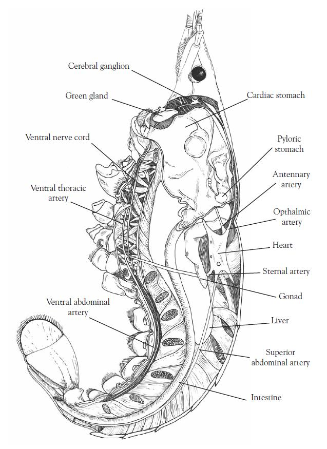Crayfish Respiratory System Diagram