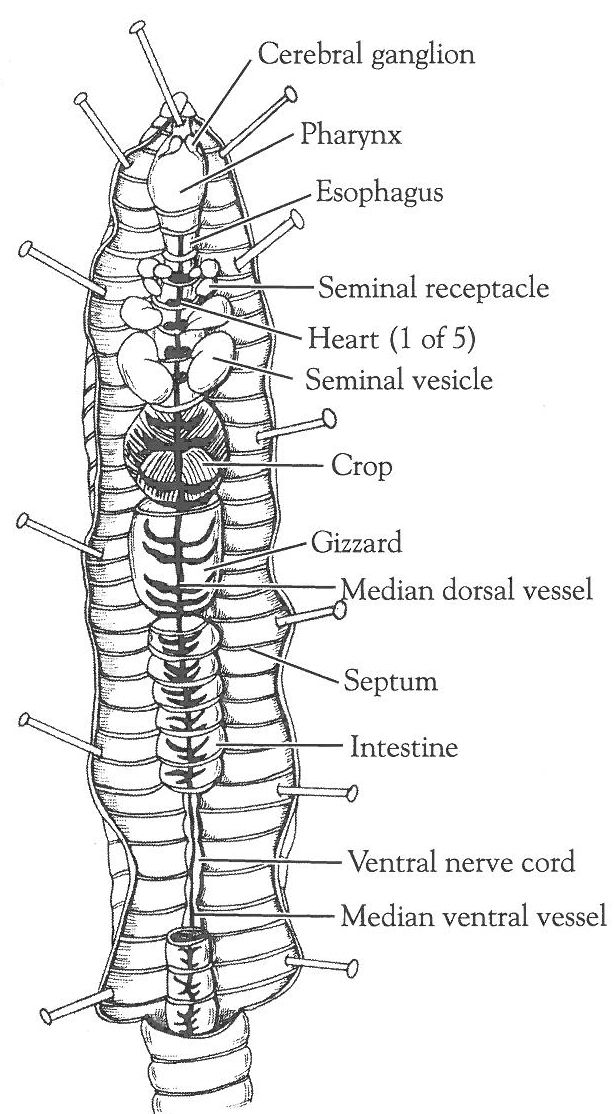 animals with closed circulatory system